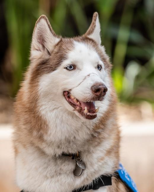 Patriot Dog